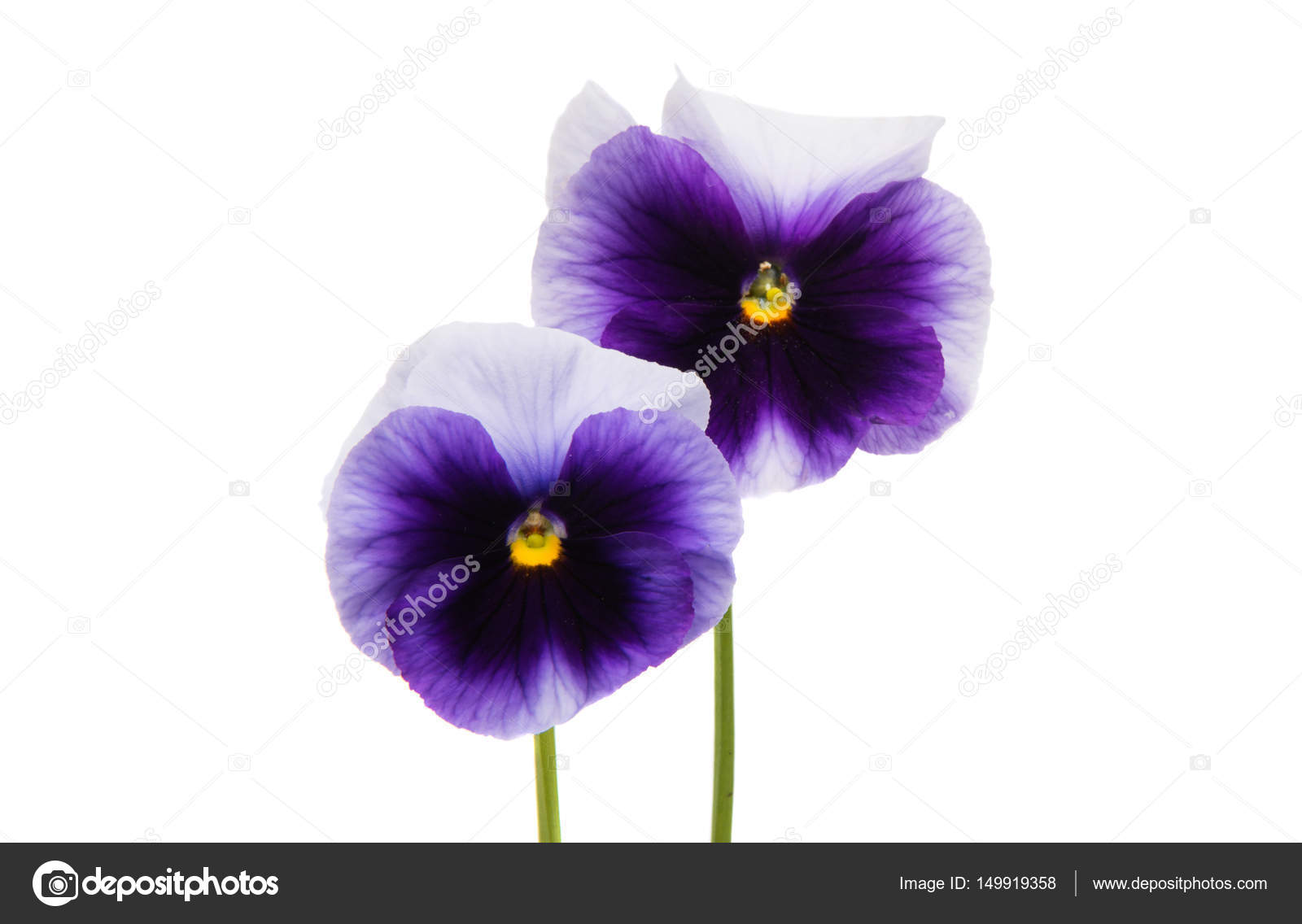 Pansies Flowers Isolated Stock Photo Ksena32 149919358