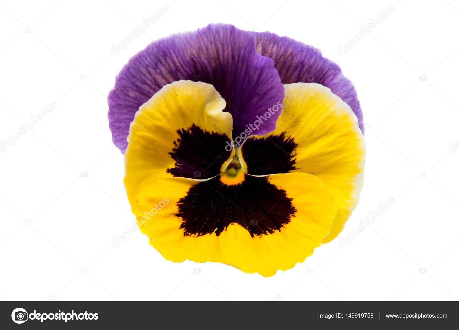 Pansies Flowers Isolated Stock Photo Ksena32 149919758