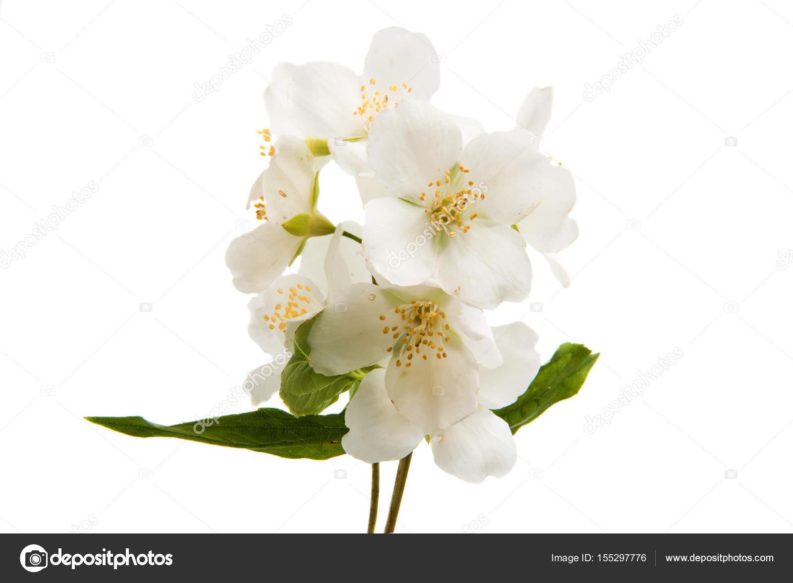 Bouquet jasmine flower stock photo ksena32 155297776 bouquet jasmine flower stock photo izmirmasajfo
