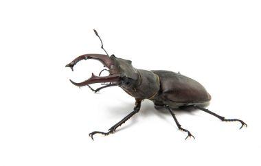 Beetle stag beetle isolated