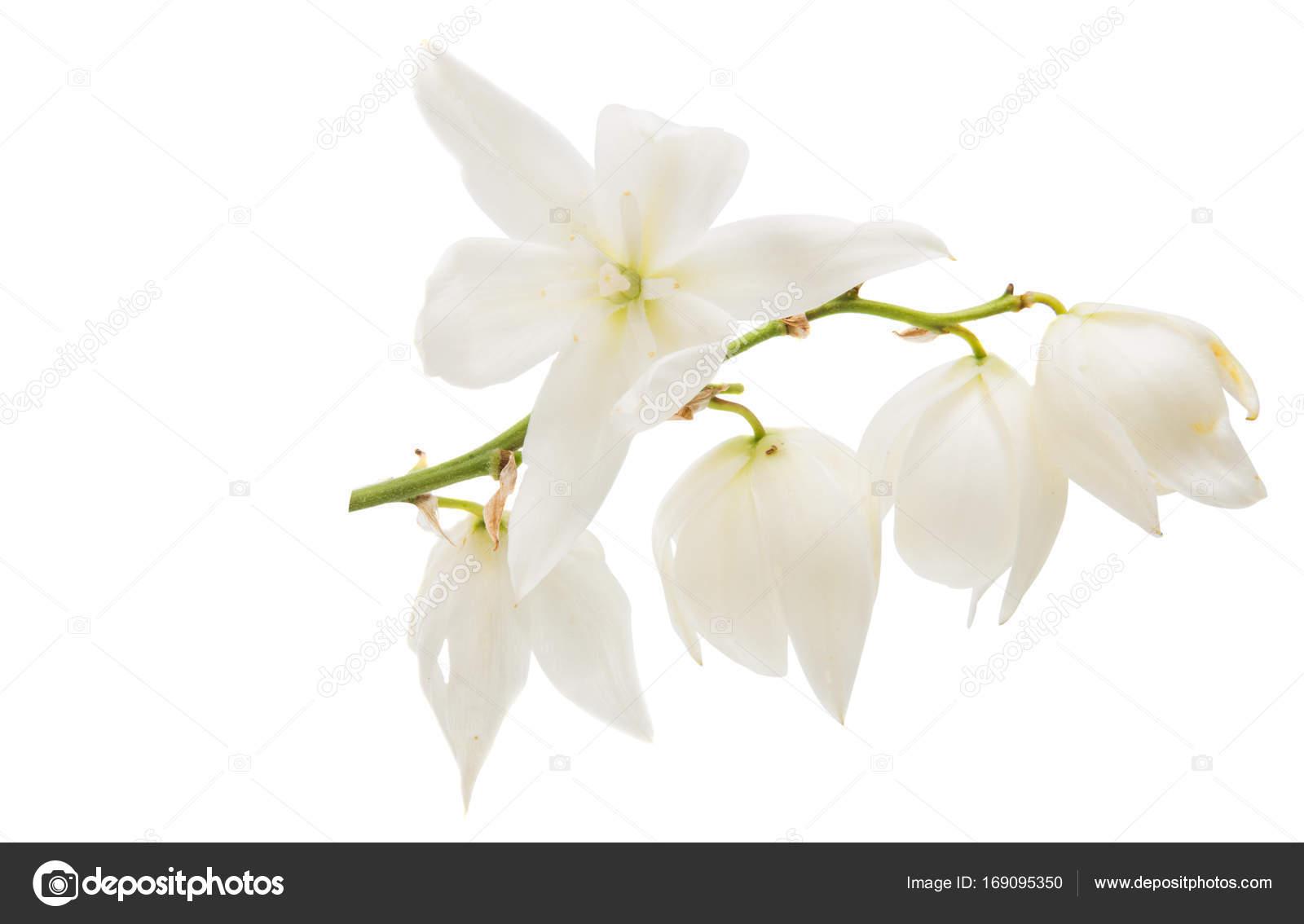 Fleur D Yucca Blanc Photographie Ksena32 C 169095350