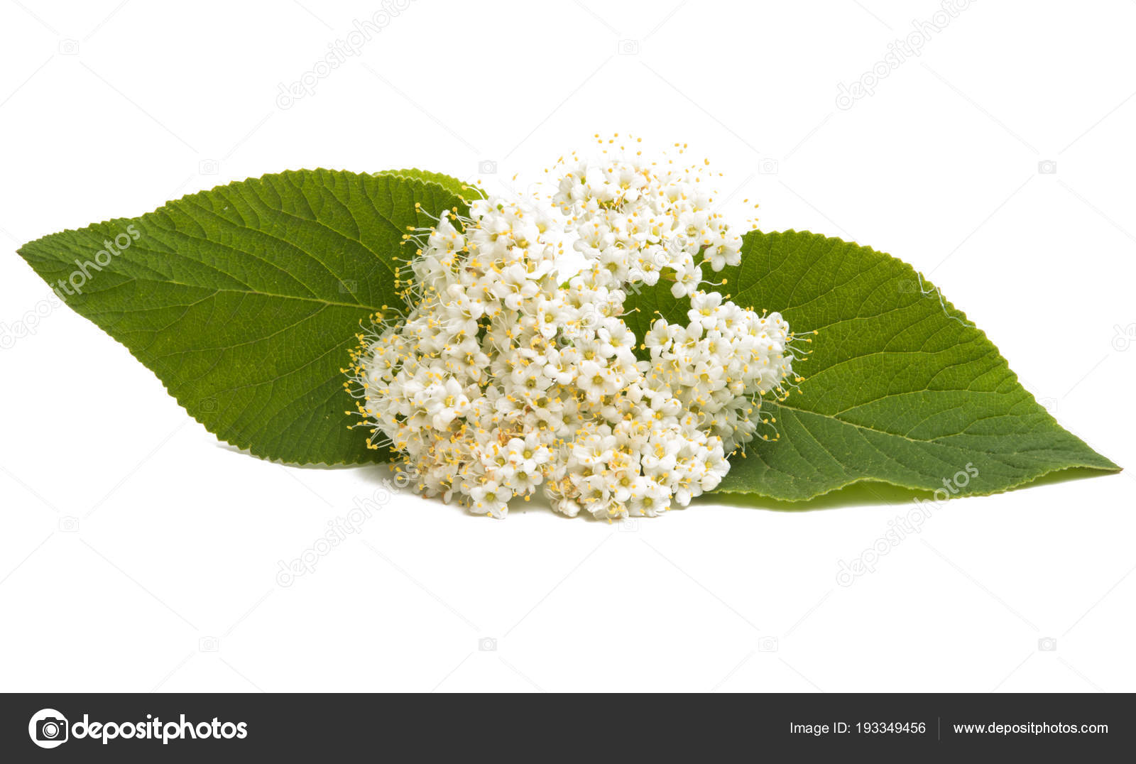 Elderberry Flower Pictures