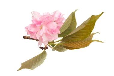 """Картина, постер, плакат, фотообои """"цветы сакуры изолированы постеры картины ирисы художники"""", артикул 336636416"""