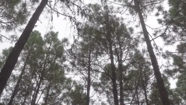 A szél a fa erdei fenyő - ringató bőrönd