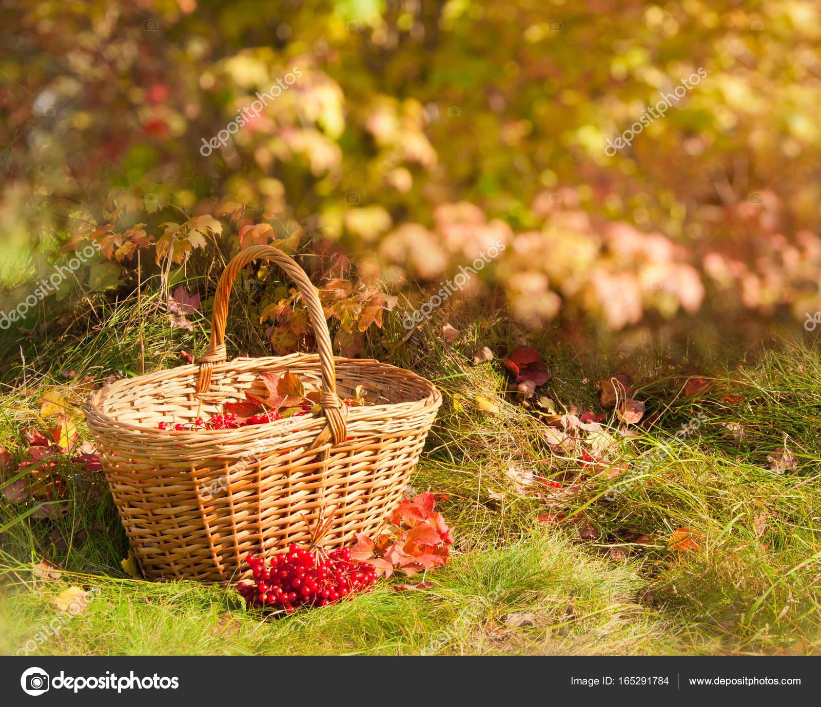 Прекрасная осень. Вибурнум ягоды в корзине — Стоковое фото ...