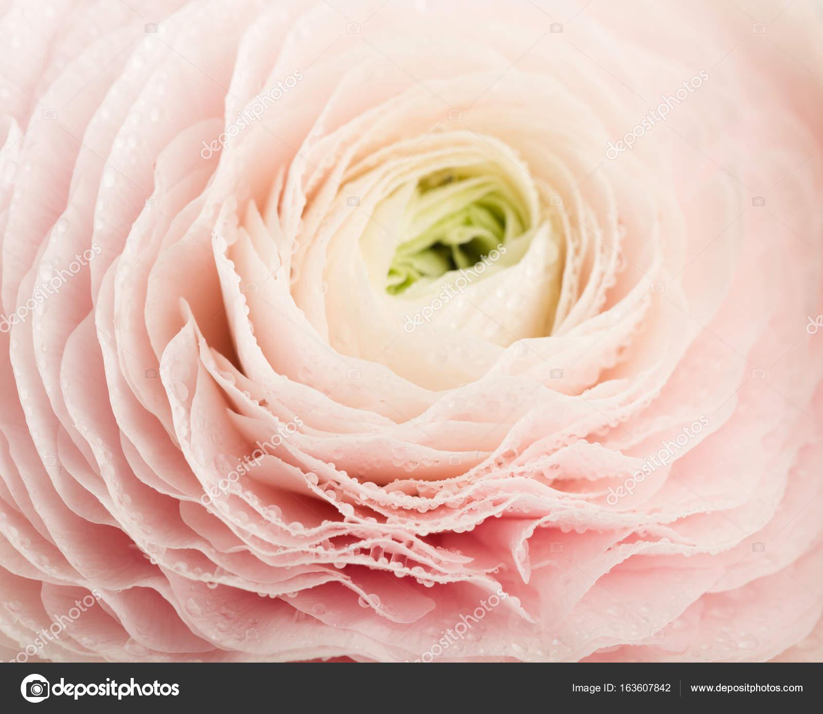 Beliebt Bevorzugt Ranunkel rosa Blume — Stockfoto © valphoto #163607842 #MT_97