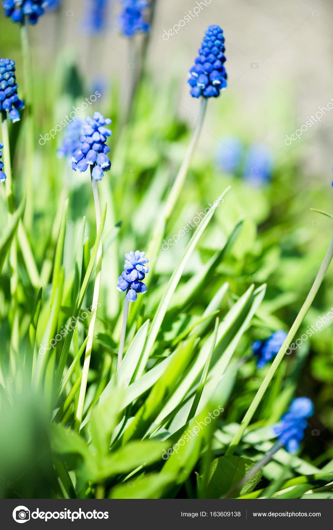 Мускари цветы в саду фото