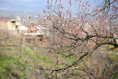 Spring blossoms on branches