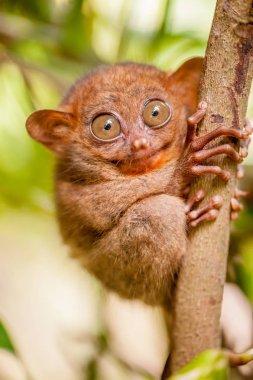 Cute Tarsier monkey