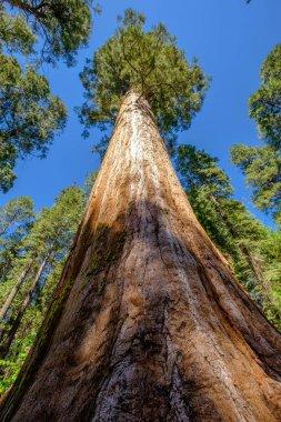 Old Sequoia tree