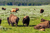 Photo American bison family