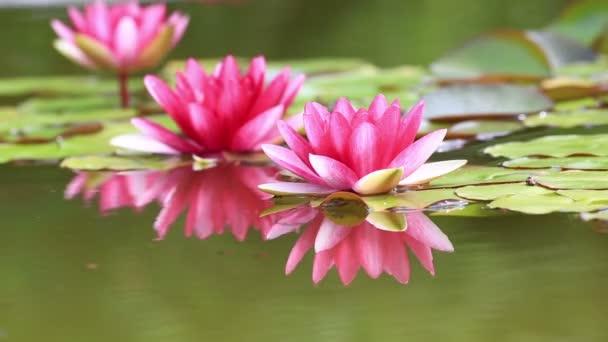 růžový leknín