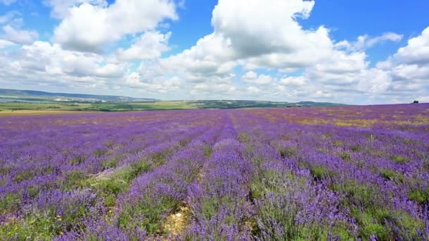 field with blooming lavender