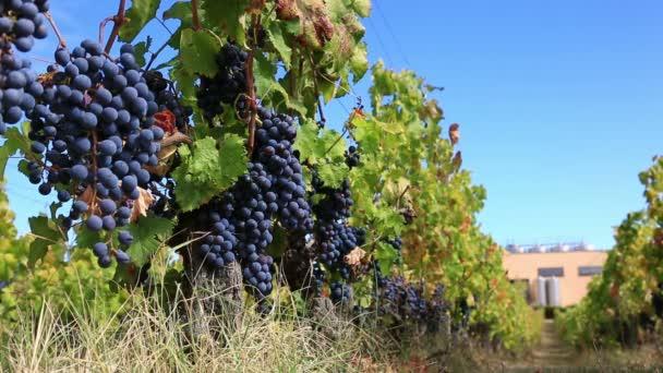Vinice řádek s trsy zralých červených hroznů