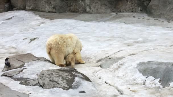 Rodina z polárních medvědů ledních
