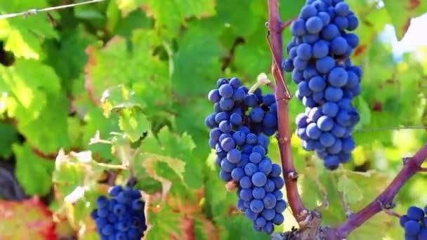 vinici řádek s hrozny zralých hroznů