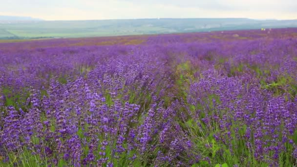 Aromatic blooming lavender