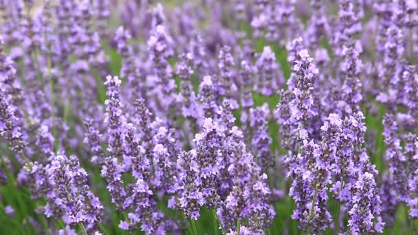 Bright blooming lavender