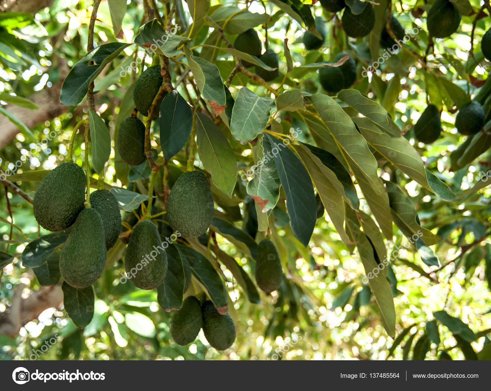 fruits d'avocat qui poussent sur les arbres — photographie grafnata