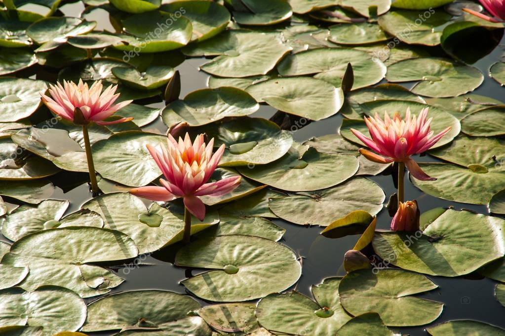 Pink lotuses  in natural pond in the sunlight