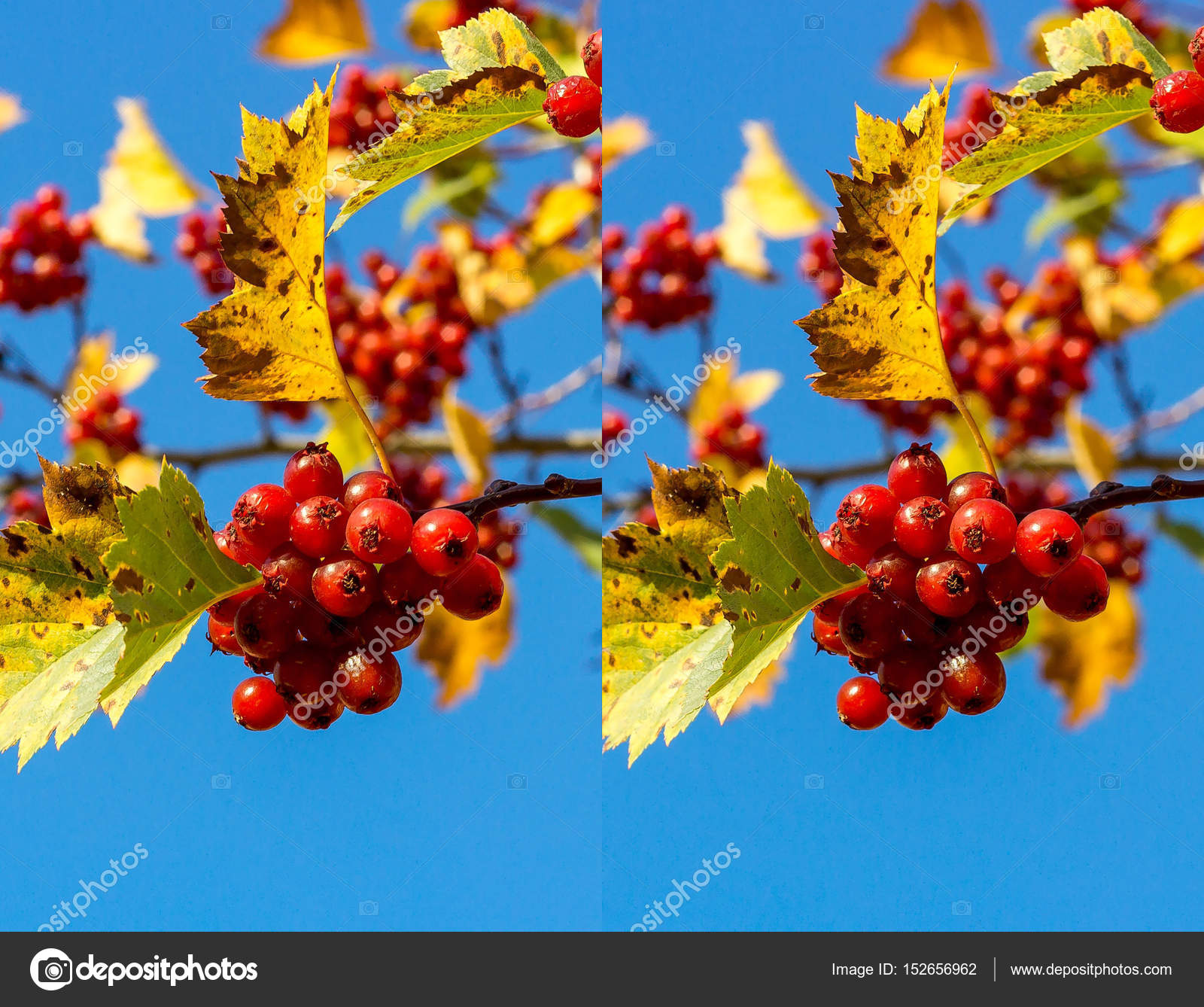 Stereo Pair Hawthorn Stock Photo C Leonikonst 152656962