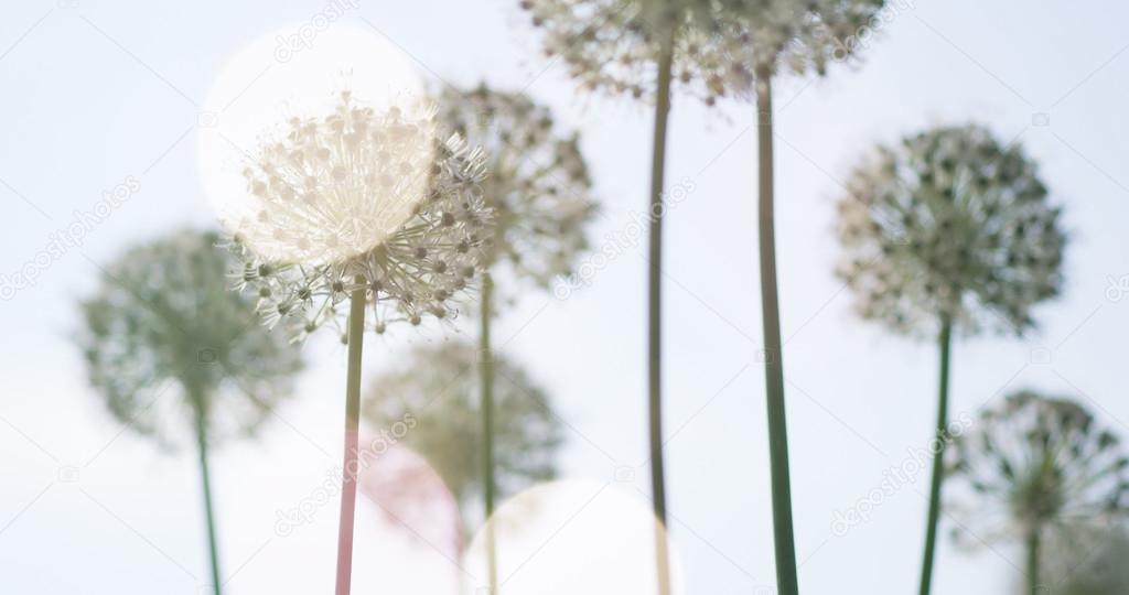 White Allium circular globe shaped flowers blow in the wind