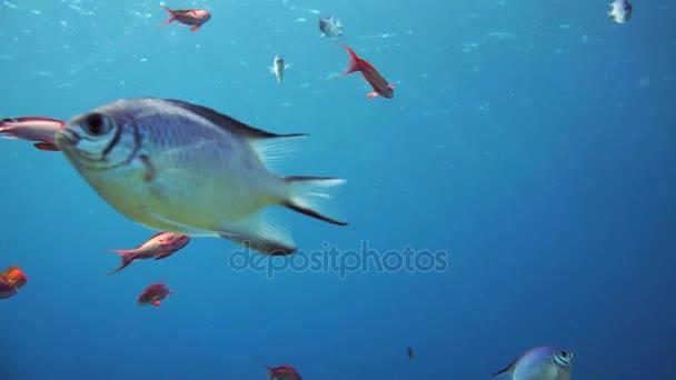 Velká skupina ryb koupání v Rudém moři