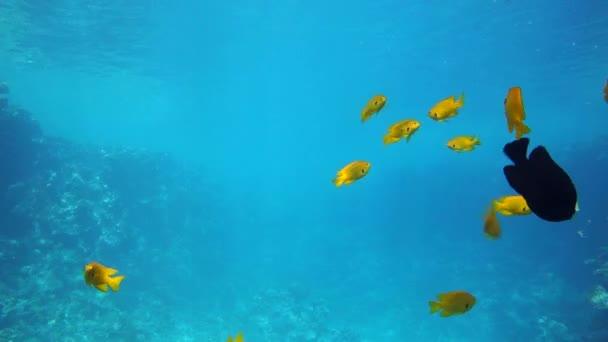 Egy nagy csoport a hal úszik a Vörös-tengeren