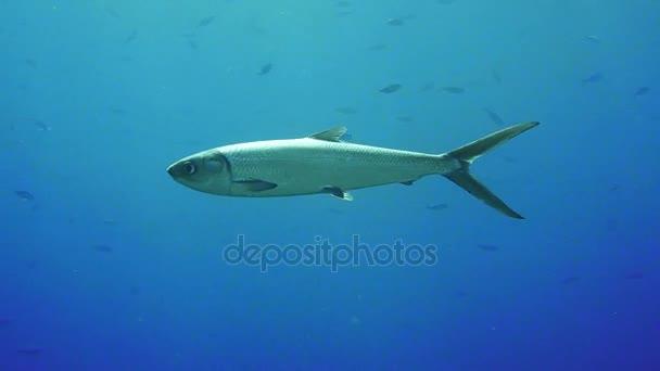 Pyramidenschmetterlingsfisch hemitaurichthys polylepis unter Wasser im Roten Meer.