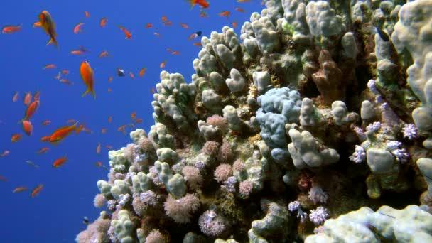 Színes halak a pezsgő korall-zátony, Vörös-tenger
