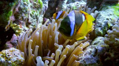 clown fish swimming into Sea Anemone