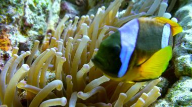 clown fish swimming into Sea Anemone
