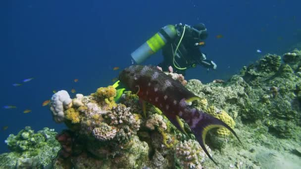 Lyretail Grouper Variola louti slowly swims on the background of a coral reef, then leaves the frame. Red Sea Egypt