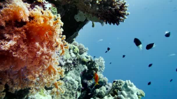 barevné ryby na živé korálový útes, Rudé moře