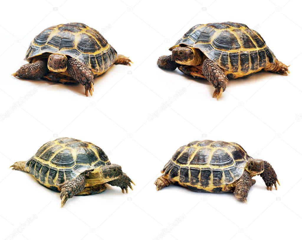 Insieme grandi tartarughe diverse angolazioni isolati for Tartarughe grandi