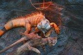 Fotografie krásný detail drak - Leguán zelený