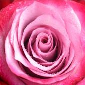 Zavřít pohled na růžový květ s jemnými okvětními lístky