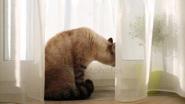 Kat kauwt gordijn — Stockvideo © aj2k.rambler.ru #93725204
