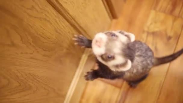 Funny ferret běžící na podlaze v domě