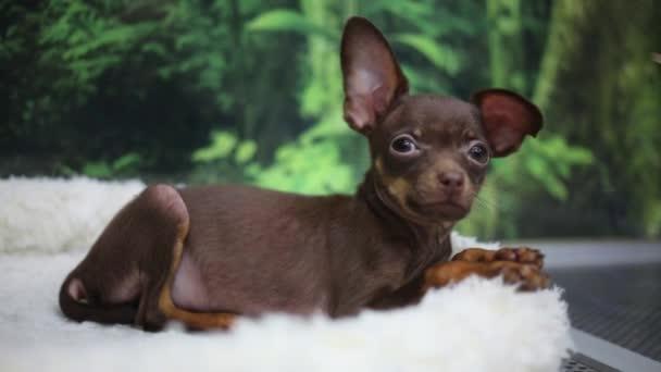 kutya-chihuahua fekszik, a szőr-a kisállat bolt
