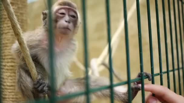 Vicces majom a ketrecben, és a női kéz