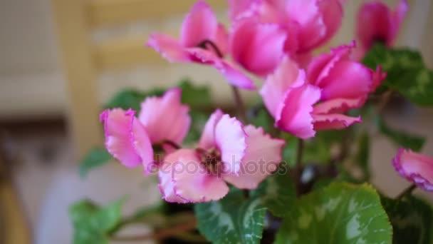 Růžové květiny brambořík v plastové květináče