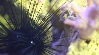 Sea urchin moving in marine aquarium