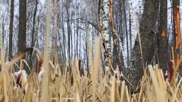 Woodpecker on tree in forest and dried reeds