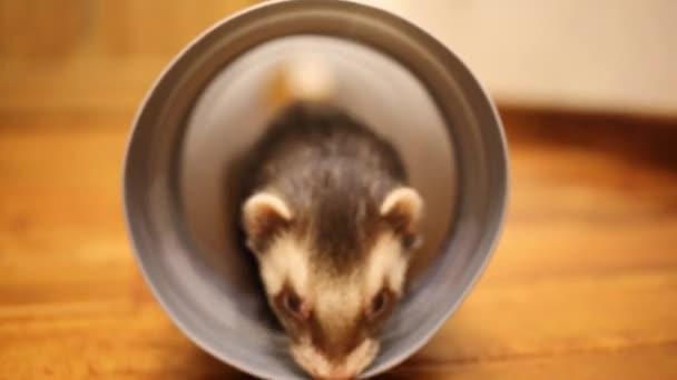Funny ferret hraje v potrubí v domě