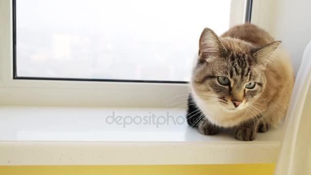 Gyönyörű szürke macska ül-ablakpárkányon