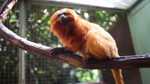 Golden Lion Tamarin sits on branch
