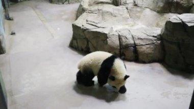 small panda walks stones in zoo