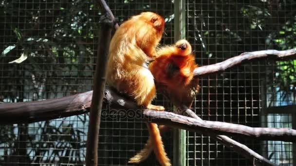 Golden Lion Tamarin sedět na větvi