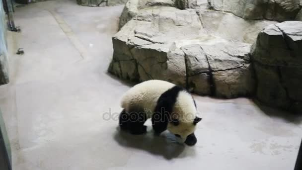 small panda walks stones in zoo